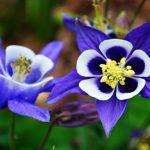 аквилегия цветок